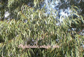 Hohas de eucalipto