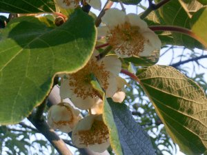 flor kiwis